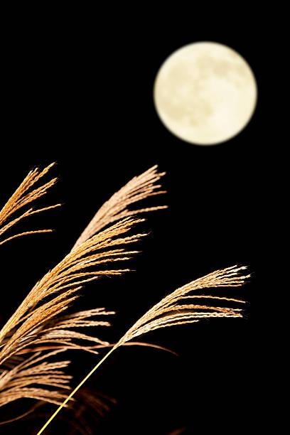 chinaschilf und full moon - chinaschilf stock-fotos und bilder