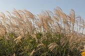 日本 silvergrass 、miscanthus ススキ