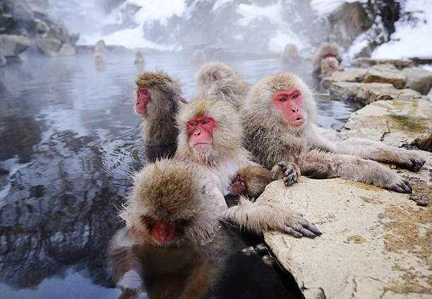 Japanese snow monkey in a hot spring Japanese Snow Monkeys in Yudanaka, Nagano, Japan. hot spring stock pictures, royalty-free photos & images