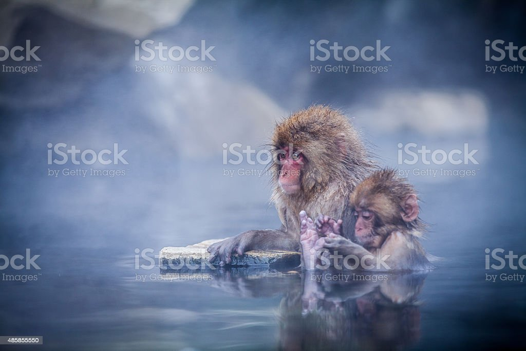 Japanese snow monkey in hot springs. stock photo