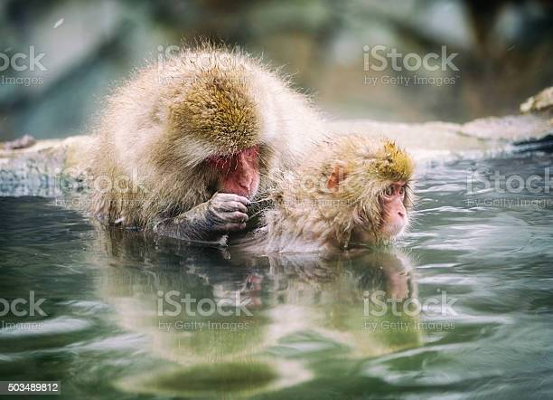 Japanese snow monkey mother in the wild picture id503489812?b=1&k=6&m=503489812&s=612x612&h=08d5cocf3xolo2qc9db50yk888tiz4xmkk8ivhbsan4=