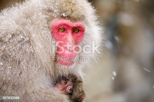 A wild adult Japanese Macaque Monkey (Snow Monkey) mother with her baby, photographed in the wild during winter near Nagano, Japan.
