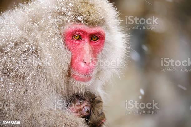 Japanese snow monkey mother in the wild picture id507633588?b=1&k=6&m=507633588&s=612x612&h=tjkmaojv9fpbhixgmynudy1xn6gzz2xluegny8byh1g=
