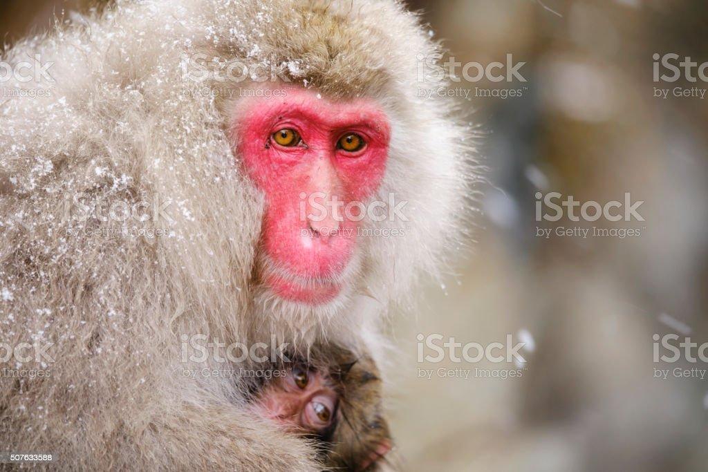 Japanische Snow Monkey Mutter in der Wildnis – Foto
