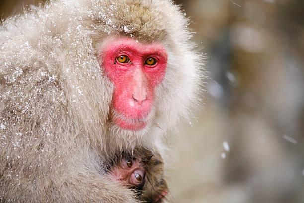 日本の雪猿の母野生 ストックフォト