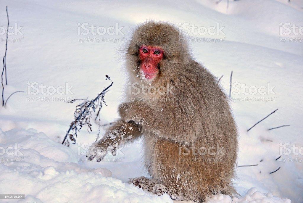 Japanese snow monkey royalty-free stock photo