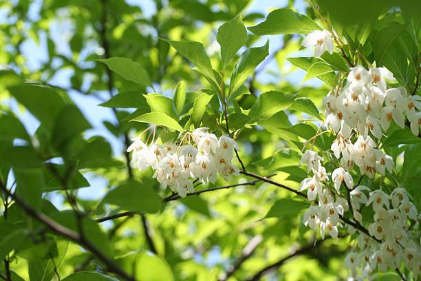 日本 snowbell Styrax japonicus ストックフォト
