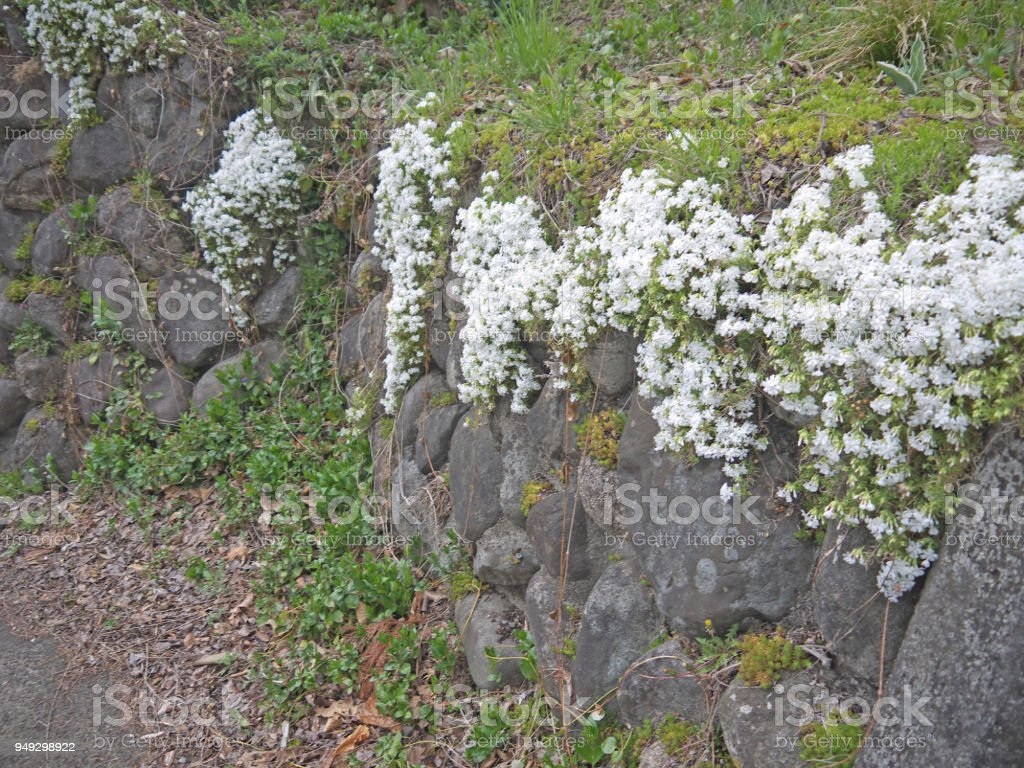 Japanese Stone Wall With White Flowers Stock Photo More Pictures