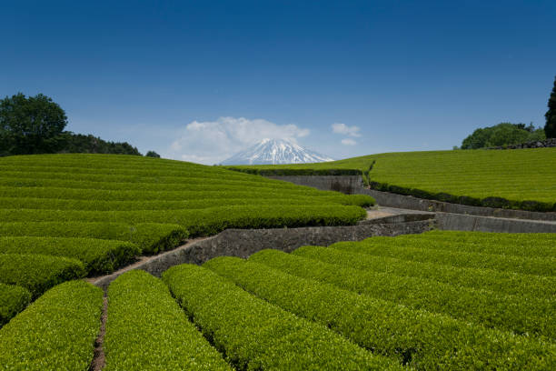 Japanese tea plantation field during summer with Mt. Fuji view. stock photo