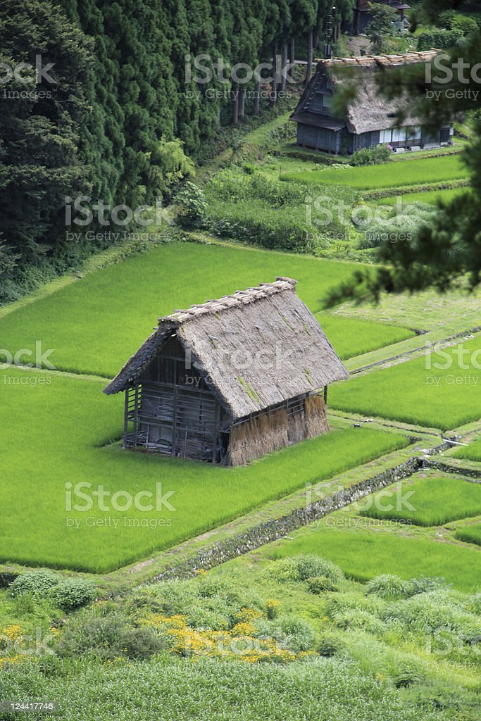 Japanese Thatched-roof Buildings Surrounded by Green Rice Fields stock photo