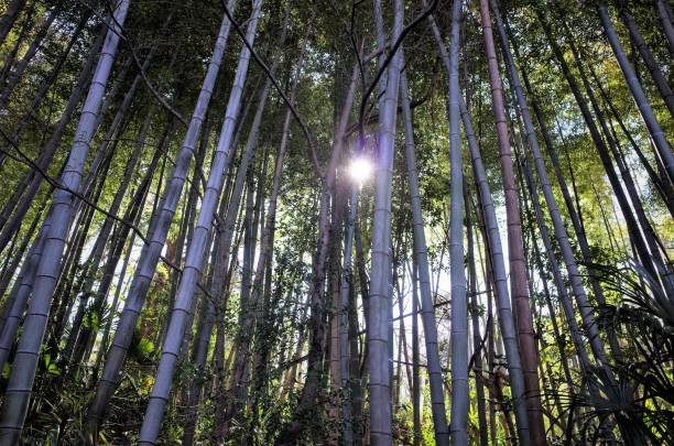 Japanese traditional bamboo bush, forest stock photo