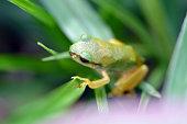 Frog is on the leaf in Fukuoka city, JAPAN. It is in July.
