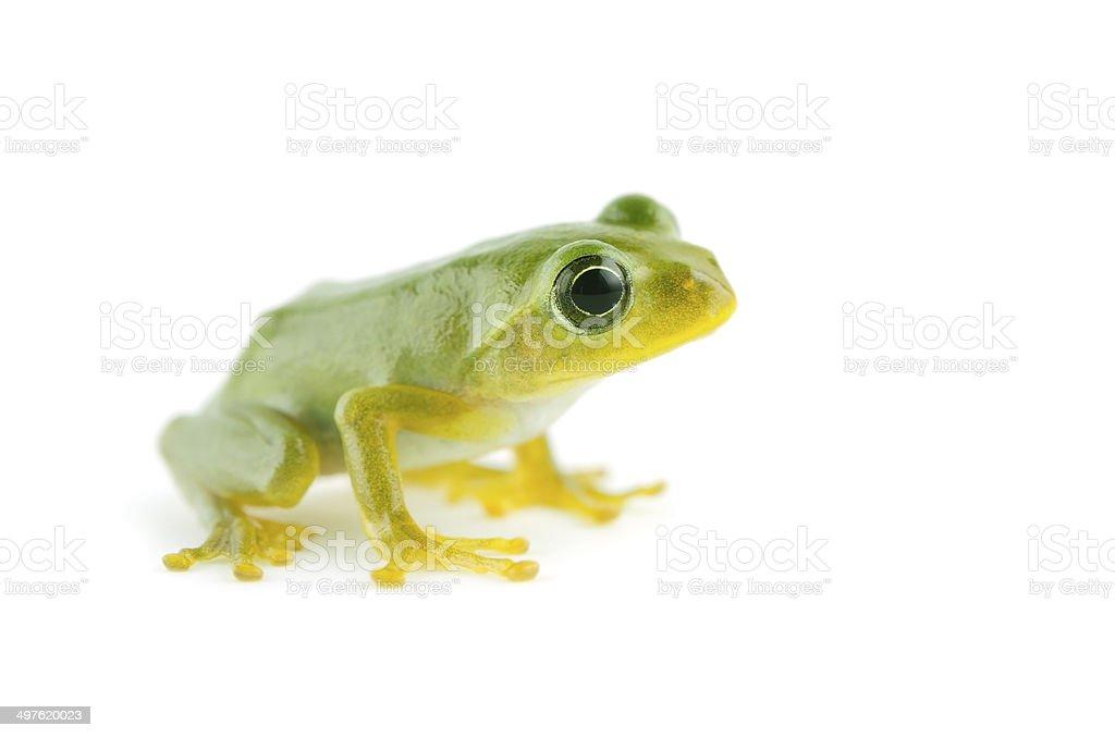 Japanese Tree Frog-Hyla japonica stock photo