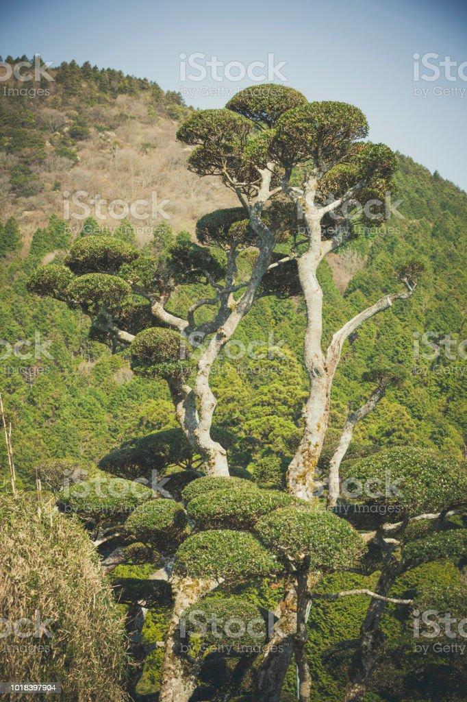 beautiful grown japanese tree at hakone national park in japan.