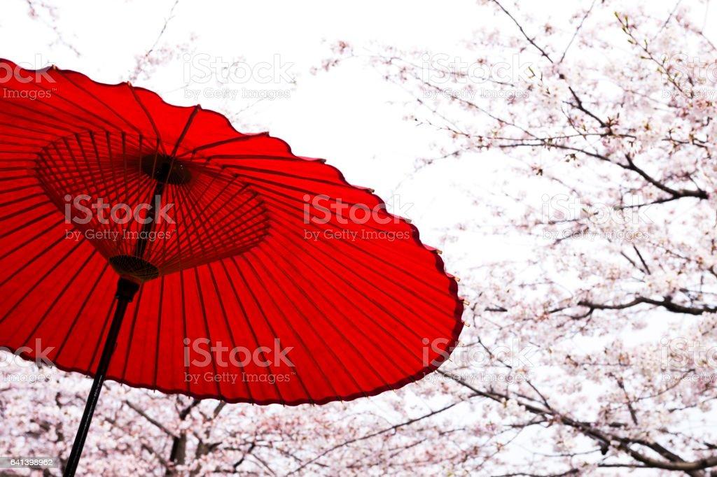 Japanese Umbrella Against Cherry Blossom Trees in Spring stock photo