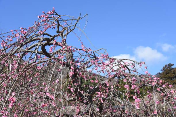 Japanese Ume garden – zdjęcie