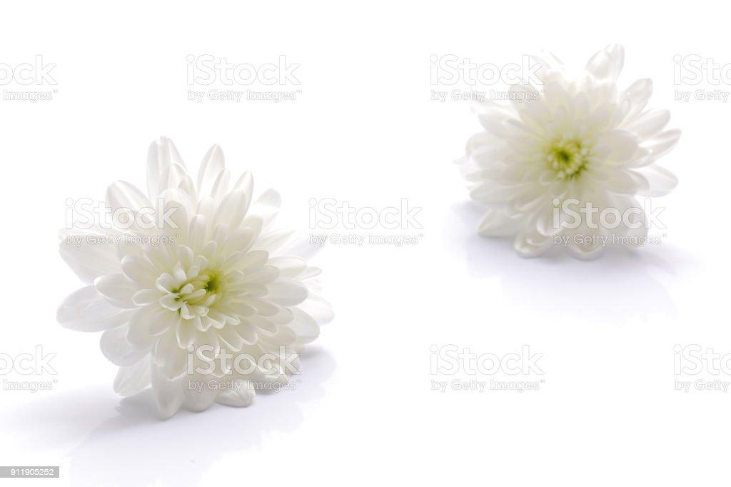 Japanese White Chrysanthemum Flower Isolated On White Stock Photo