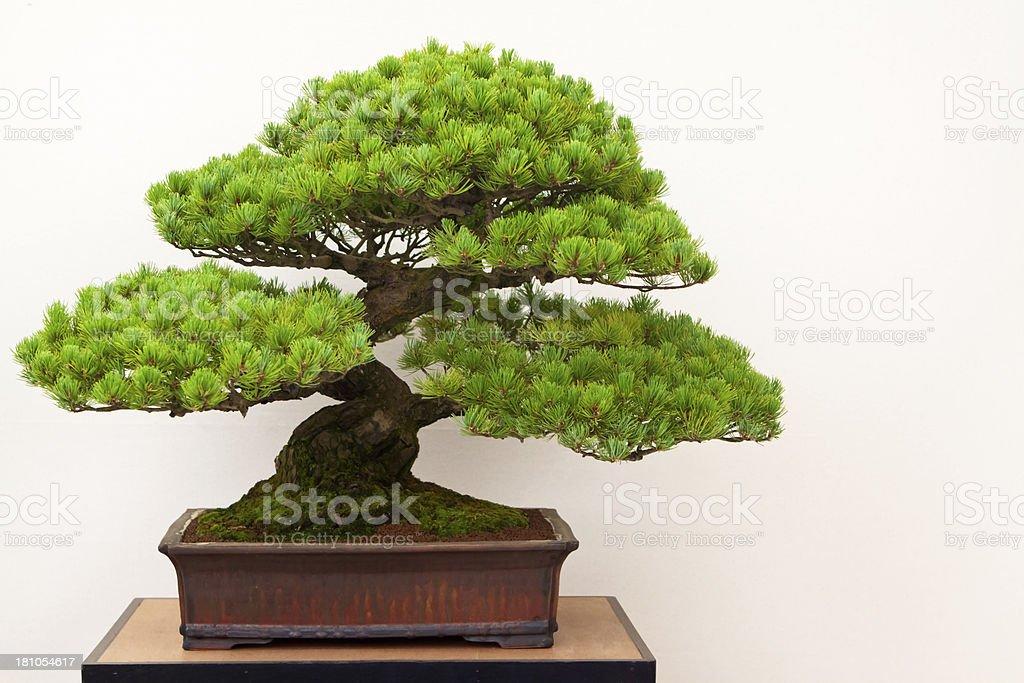 Fotografía de Pino Blanco Japonés árbol Bonsái y más banco de ...