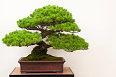 A specimen Japanese White Pine Bonsai Tree, or Pinus Paviflora, in a glazed ceramic bonsai pot on a wooden display stand,  against a white background, Good copy space.