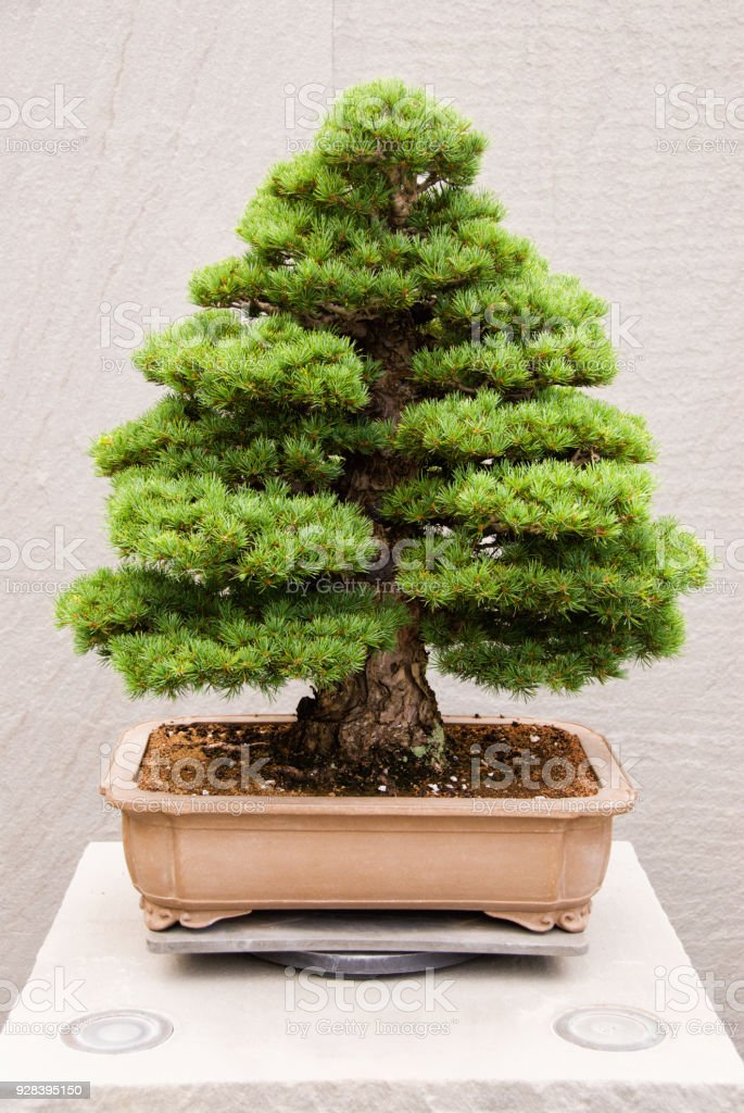 Japanese White Pine Bonsai Tree Stock Photo Download Image Now Istock