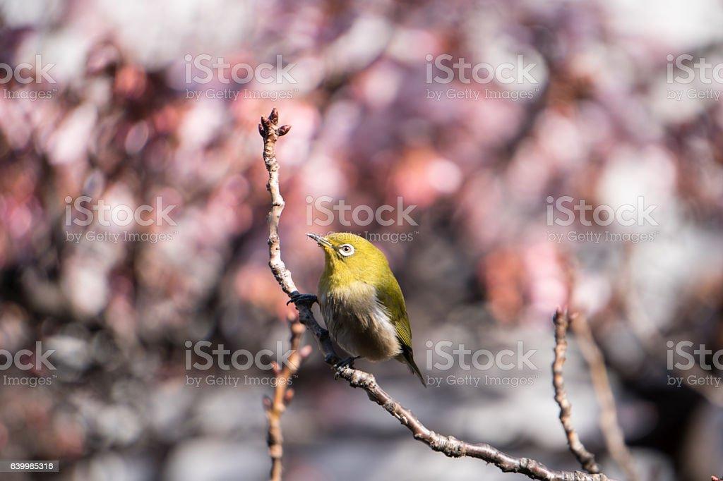 Japanese white-eye on cherry blossom branch ストックフォト