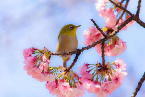 zostérops du japon - paysage mois de mars photos et images de collection
