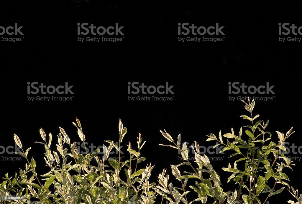 Japanese willow leaves on black. stock photo