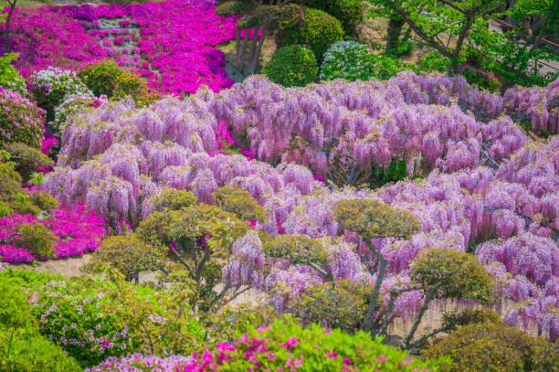 japanische wisteria festival im frühling - blauregen stock-fotos und bilder