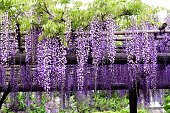 tunnel of Japan Wysteria floribunda flower at Wisteria Garden.