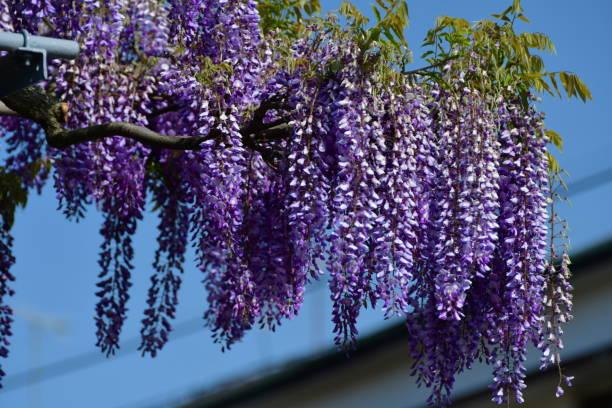 japanische wisteria blumen - blauregen stock-fotos und bilder
