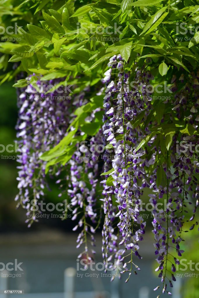 Japanese Wisteria Flowers royalty-free stock photo