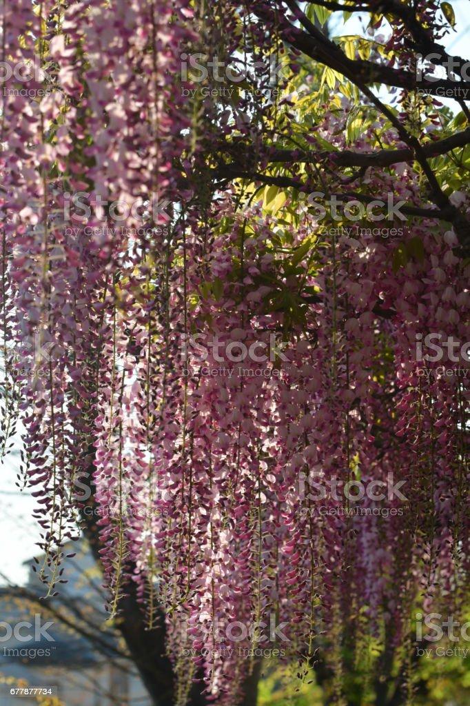 Japanese Wisteria Flowers royalty-free stock photo