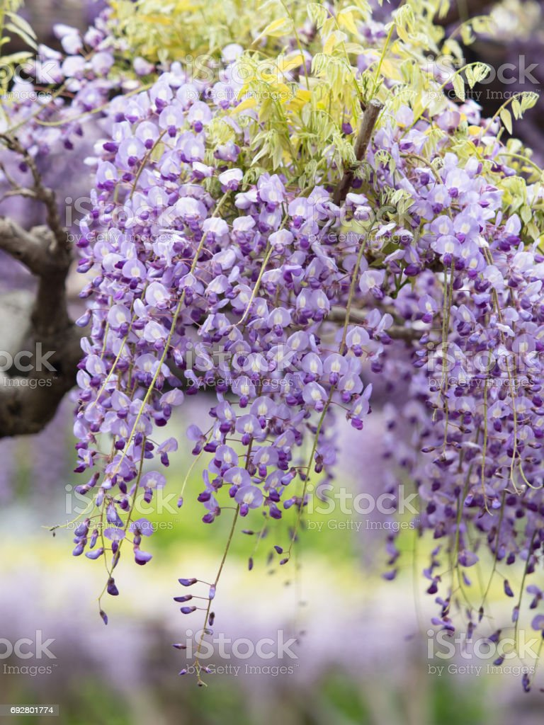 Japanese wisteria stock photo