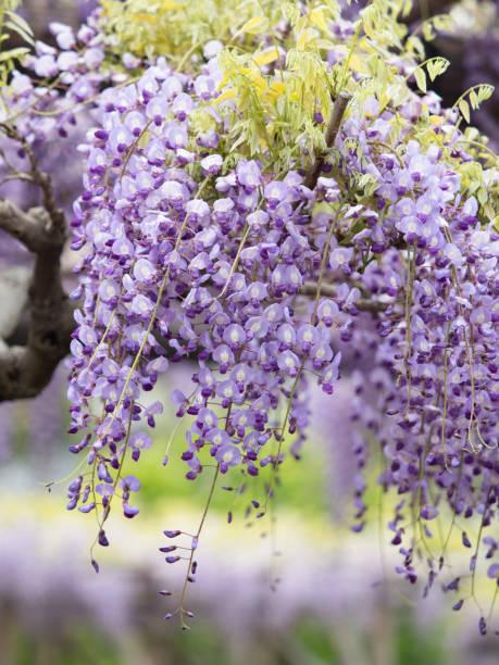 Japanese wisteria stock photo