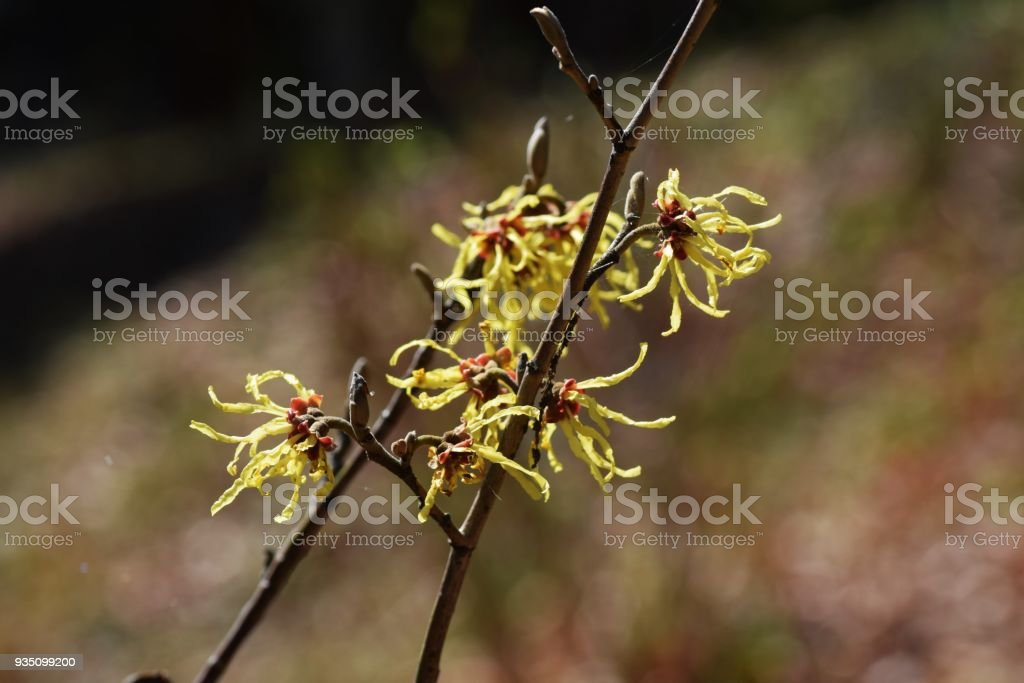 Japanese Witch Hazel Flowers Stock Photo Download Image Now Istock