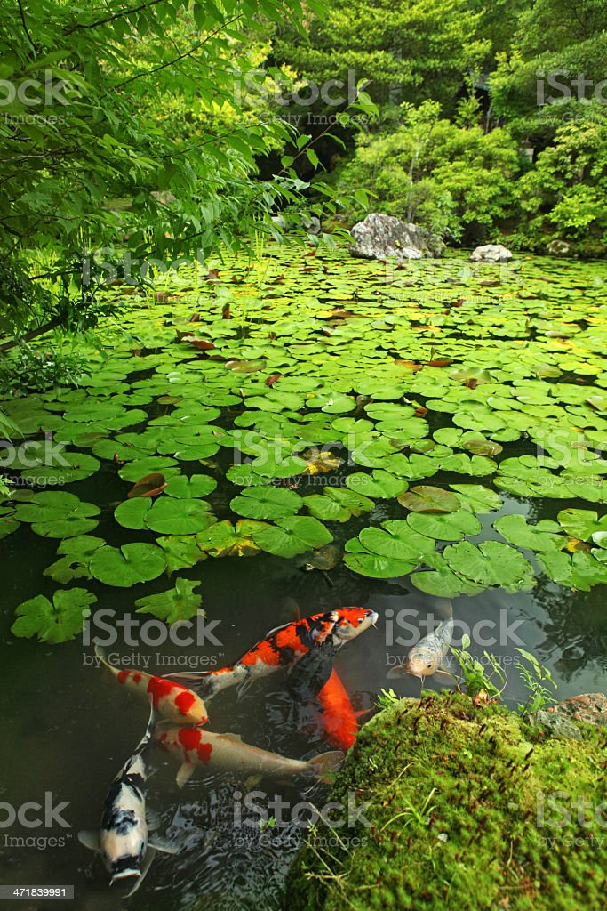 Japanese Zen Garden Pond With Carp Fishes Royalty Free Stock Photo