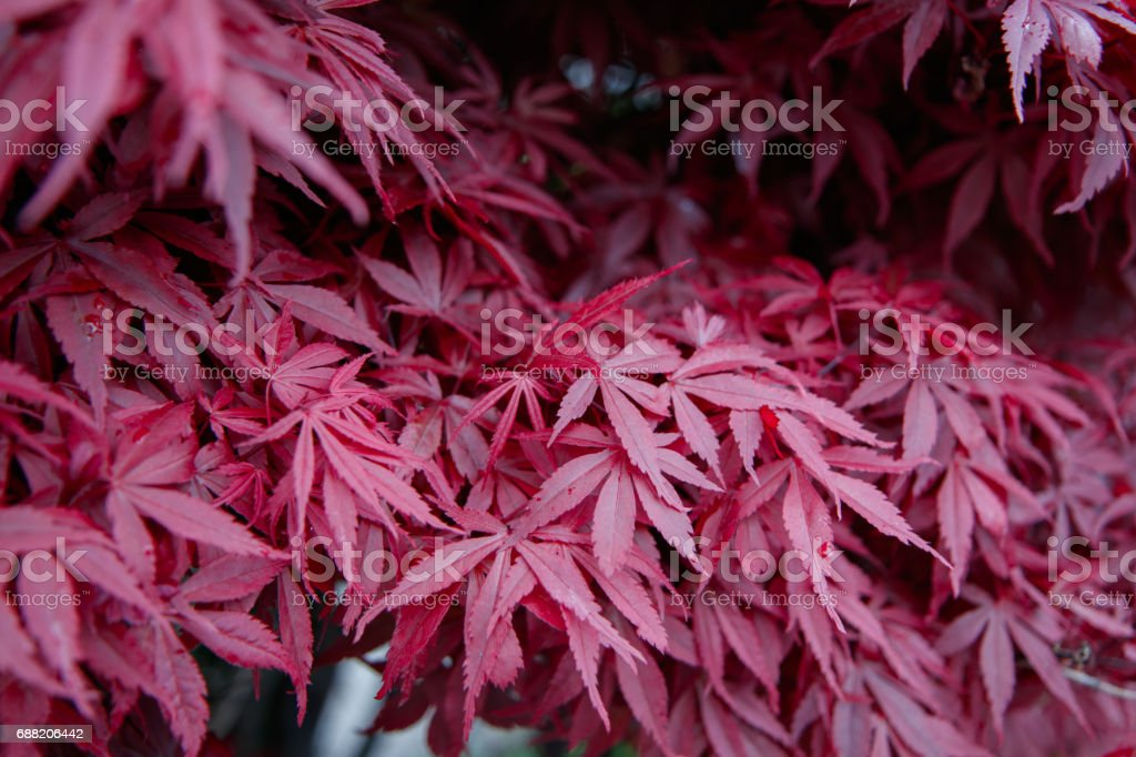 Japanice maple with red leaves ,acer palmatum stock photo