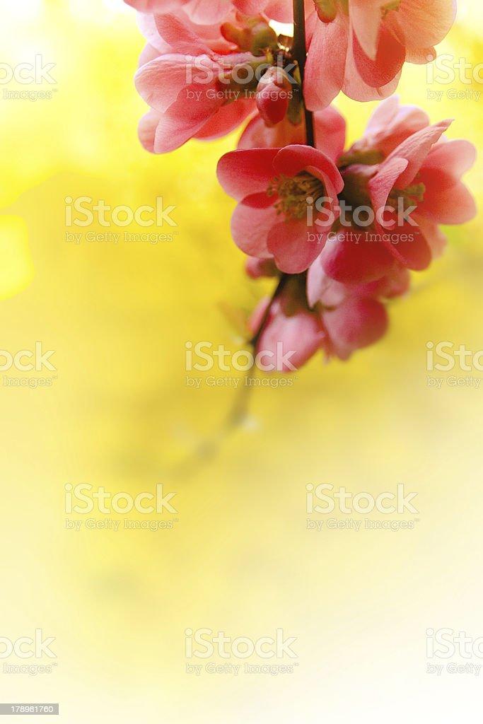 Japenese flowering crabapple flowers royalty-free stock photo