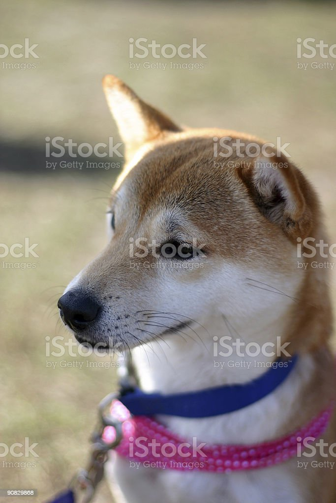 japnese Shiba Inu royalty-free stock photo