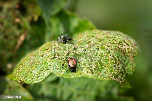 Japonese Beetles (Popillia japonica) eating my Pole Bean Leaves
