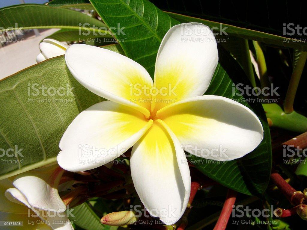 Jasmin Blume Frangipani Stockfoto Und Mehr Bilder Von Bali Istock