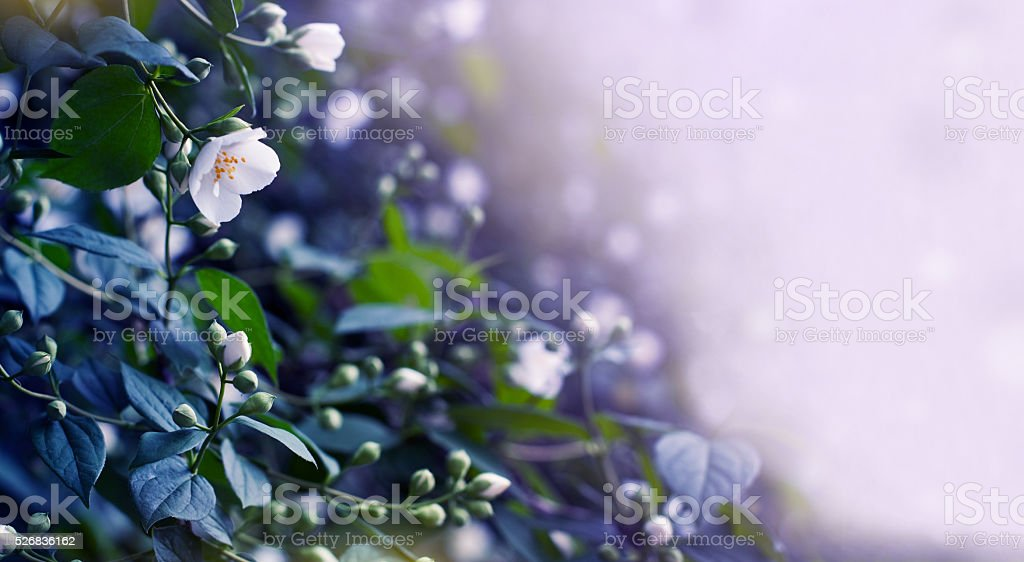 Jasmine background stock photo