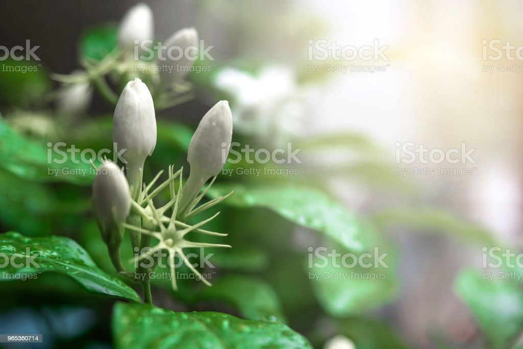 Jasmine before bloom. royalty-free stock photo
