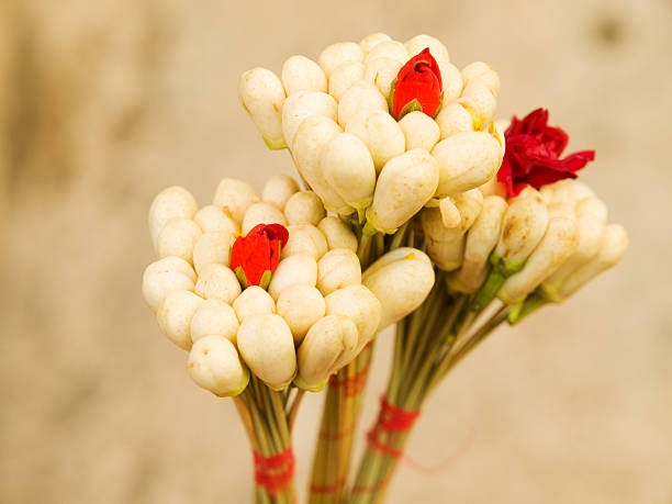 Jasmin Blüten in Tunesien – Foto