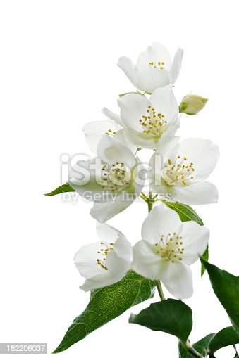 jasmine blossoms isolated