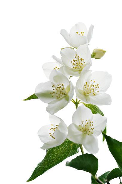 jasmine 잎과 - 재스민 뉴스 사진 이미지