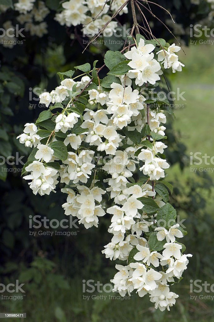 Jasmine branch royalty-free stock photo