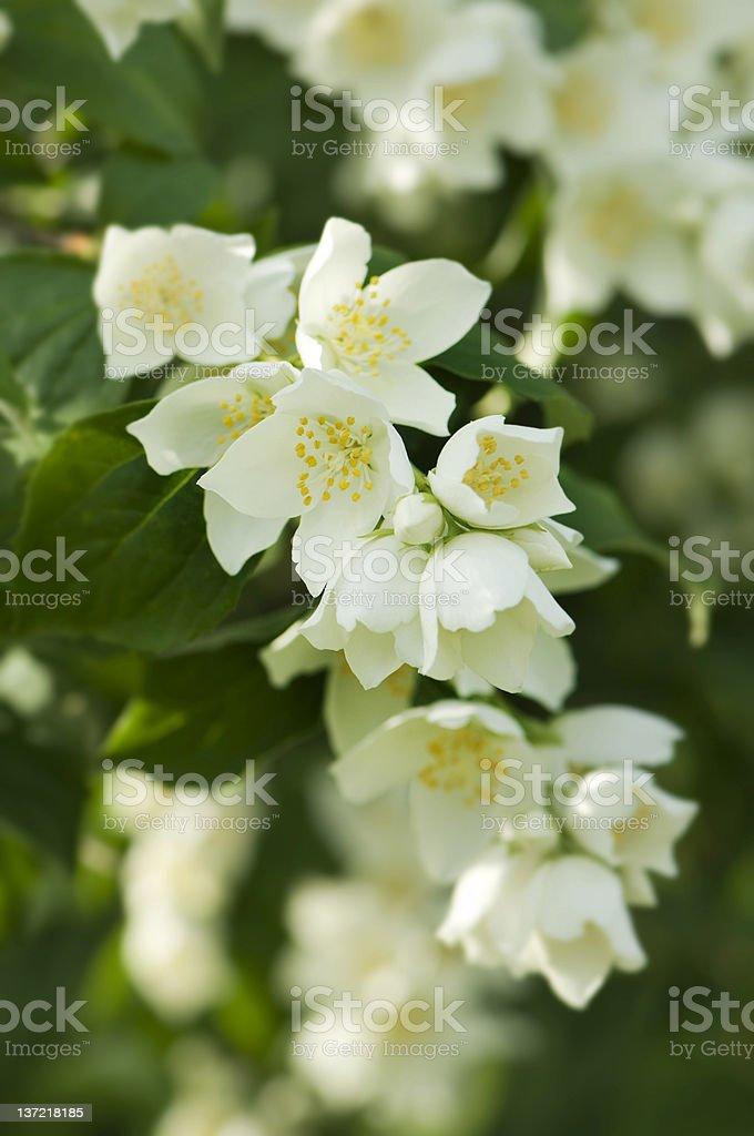 Jasmine branch stock photo