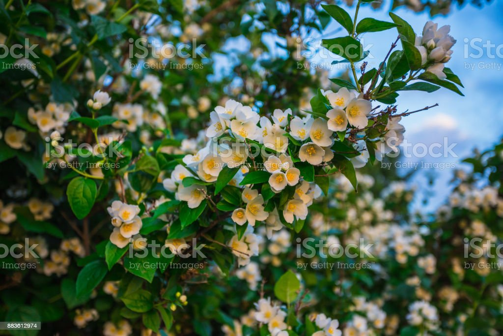 Jasmine flower and green leaves stock photo