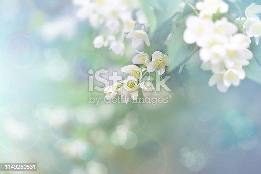 Jasmine flower, branch of beautiful jasmine flowers